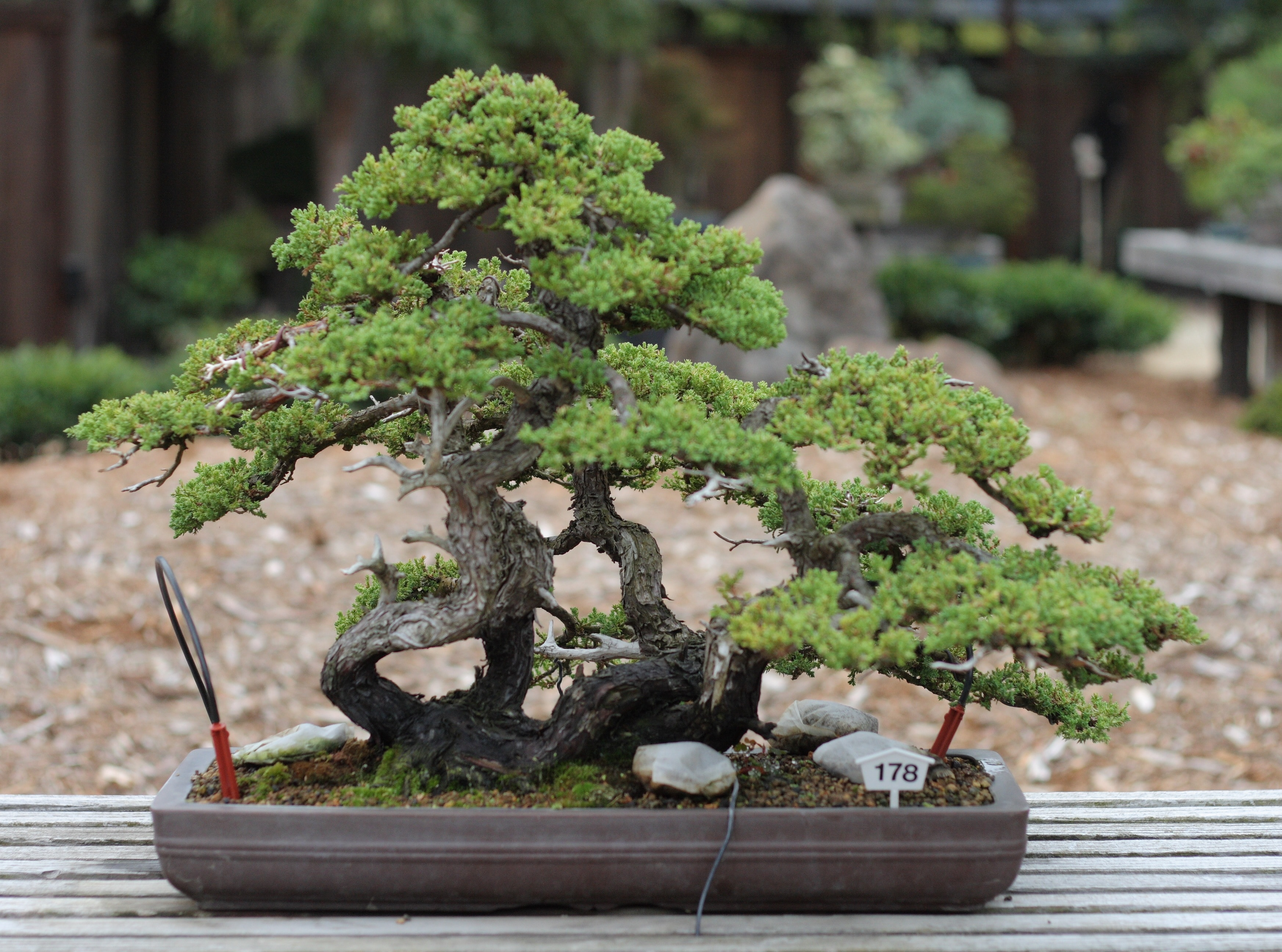 Wiki bonsai waking times for Japanese garden plants and trees