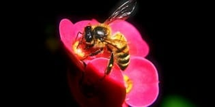 Mystery of the Disappearing Bees: Solved