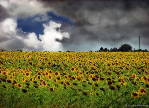 Flickr - Sunflowers - Claudio.Ar