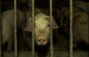 Flickr - CAFO Pigs - onex10