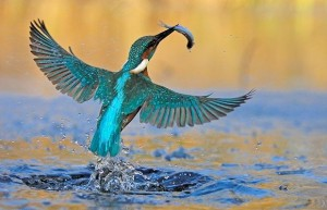 kingfisher-fish_1007458i