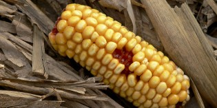Mexico Officials: Allowing GM Corn Will Devastate Crops