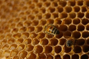 Flickr - Honey Bee - BotheredByBees