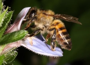 Honey bee and flower with extrafloral nectaries