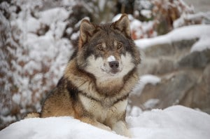 Flickr - Wolf - Caninest