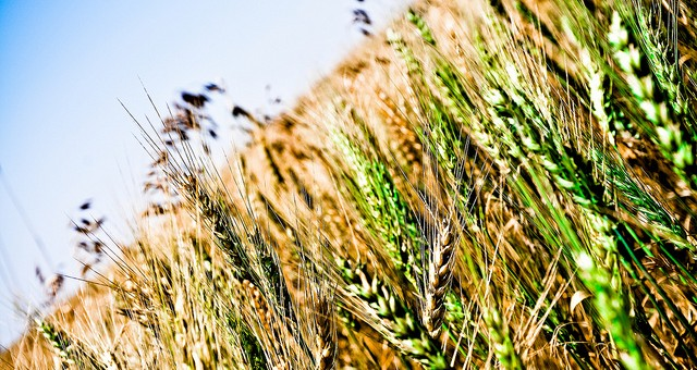Flickr - wheat field - ShuttrKingKT