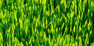Wheat Grass – Health Benefits and Uses