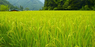 The Rockefeller Foundation's True Plans with Golden Rice: GMO for Population Control