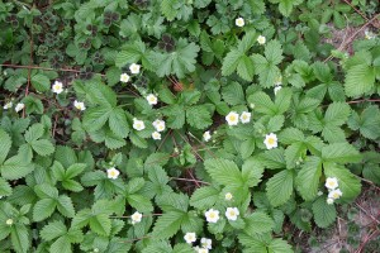 Flickr-strawberry bloom-patrick_standish