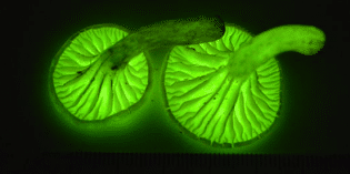 Unraveling the Origins of Bioluminescent Fungi