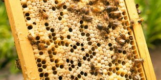 Bacteria From Bees Confirmed as Possible Alternative to Antibiotics