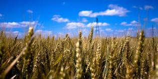 Why Eating Wheat and GMOs Will Destroy Your Health