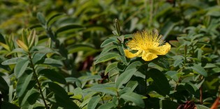 Ending Your Depression and Anxiety with St. John's Wort