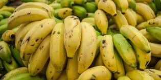 First Human Trials of Genetically Modified Bananas Underway
