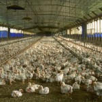 GMO's and CAFO's Drive Disease Statistics and Destroy Communities