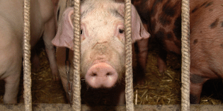 Factory Farming Model to Blame for Outbreak of Deadly Pig Virus