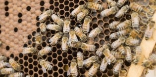 This Discovery Makes Bee Die-Off Problem That Much Worse