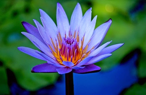 blue lotus  the entheogen of ancient egypt  waking times, Natural flower