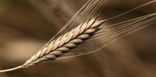 How to Outsmart Modern Wheat and Gluten Intolerance
