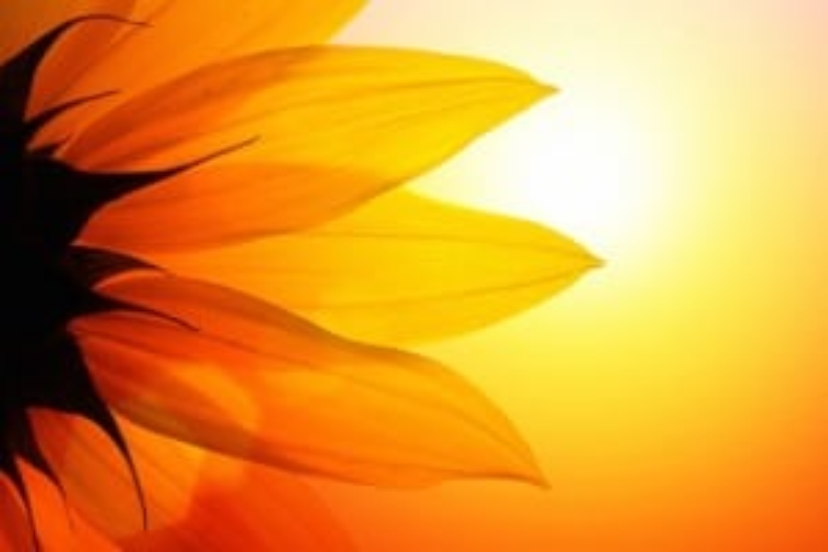 sunflower sunlight healing