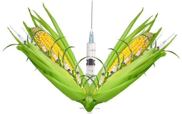 gmo corn Using genetic modification techniques and bioengineering procedures to cultivate crops is being commonly exercised across the global food and beverage industry with global farming conditions getting worse, cultivation of crops such as maize (corn) is being heavily marred by irregular presence of.