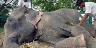 50 Years a Slave: Raju the Elephant Cried Tears of Joy After Being Freed from Suffering