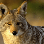 Coyotes and the 'Kill It' Fallacy