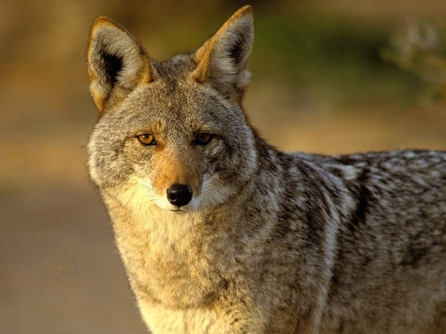 http://www.wakingtimes.com/wp-content/uploads/2015/04/Coyote.jpg