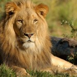 Australia Becomes First Country to Ban Lion Trophies