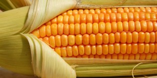 U.S. is Now Importing Organic Corn to Satisfy Consumer Demand