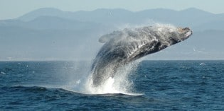 Humpback Whale Shows Off After Being Freed From Nets