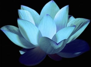 Lite Blue Night Lotus