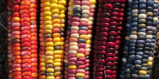 59 Indigenous Corn Varieties at Risk as Monsanto Eyes Mexico