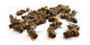 Industry Whistleblower Claims This is What's Really Killing Honeybees