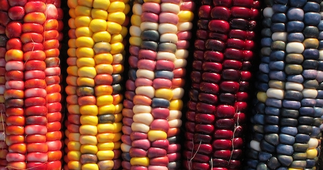 colorful-corn