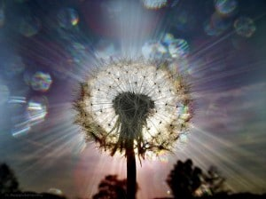 Flickr - Dandelion - h.koppdelaney