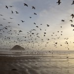 1000's of Gulls on Morro Strand State Beach at low tide with M