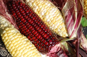 Flickr - Heirloom Corn - RebsieFairholm