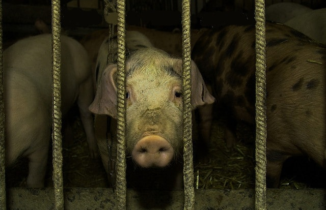 Flickr – CAFO Pigs – onex10