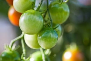 Flickr - Tomato - frankallanhansen
