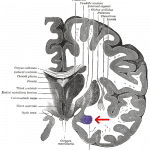 WikiCommons - Amygdala - Gray