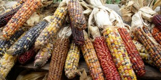 The Great Mexican Maize Massacre