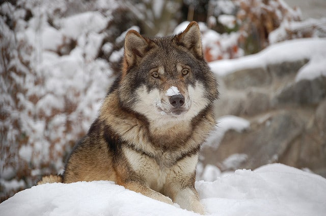 Flickr – Wolf – Caninest