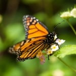 U.S. Citizens Willing to Spend Billions to Protect Monarch Butterflies