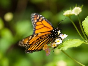 Flickr - monarch - wwarby