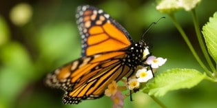 Monarch Butterflies in Decline Due to Proliferation of GM Crops