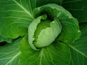 Flickr - cabbage - net_efekt