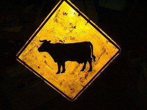 Flickr - Cows - mrbill