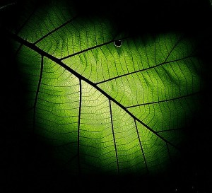 Flickr - Leaf - linh.ngan