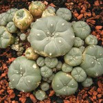 Peyote as Medicine – The Power of Native Plants to Heal
